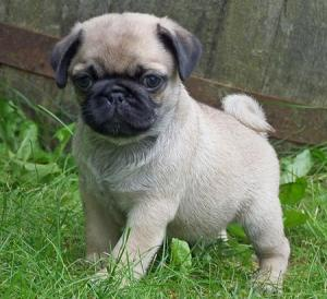 romeo-the-pug-puppies-daily-puppy-pug-dogs-puppy