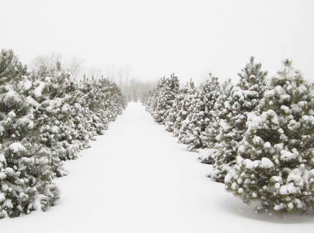 country-christmas-trees-farm-snowy-winter